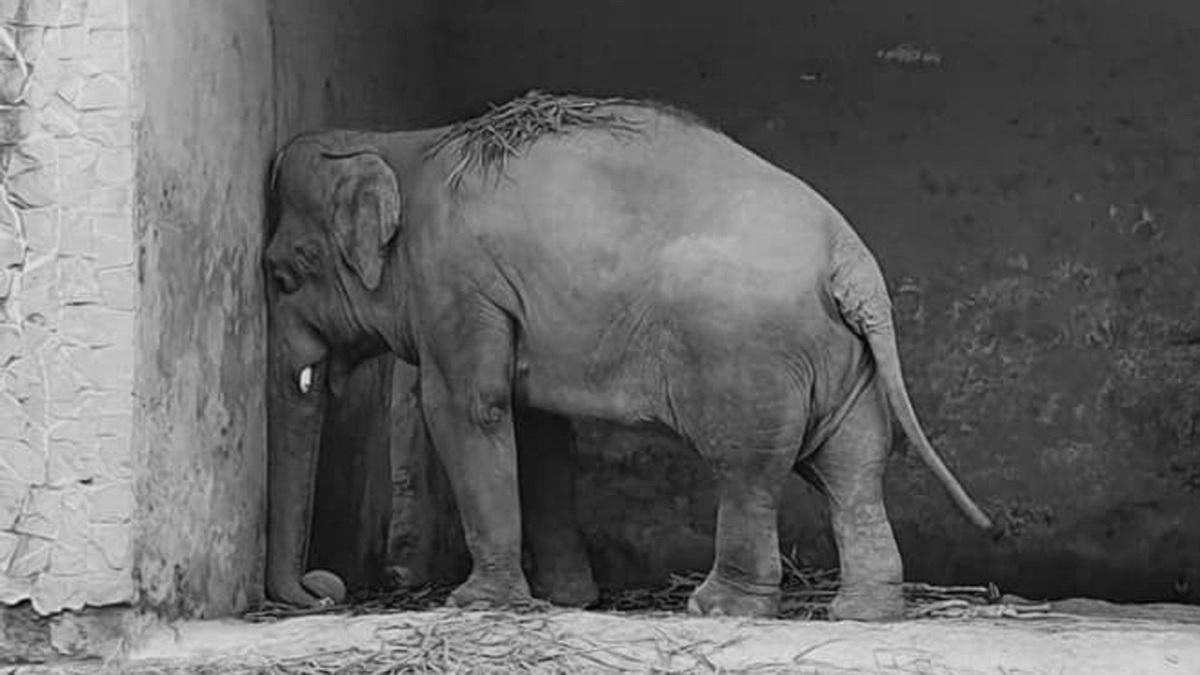 La travesía del elefante más solitario del mundo hasta su nuevo hogar (+Fotos)