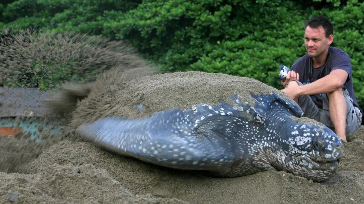 Ambientalistas hallan nido de una tortuga gigante en peligro de extinción