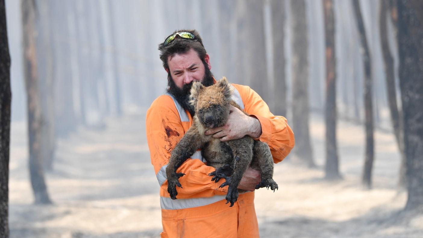 """El """"verano negro"""" australiano arrasó con más de 61.000 koalas (+Fotos)"""