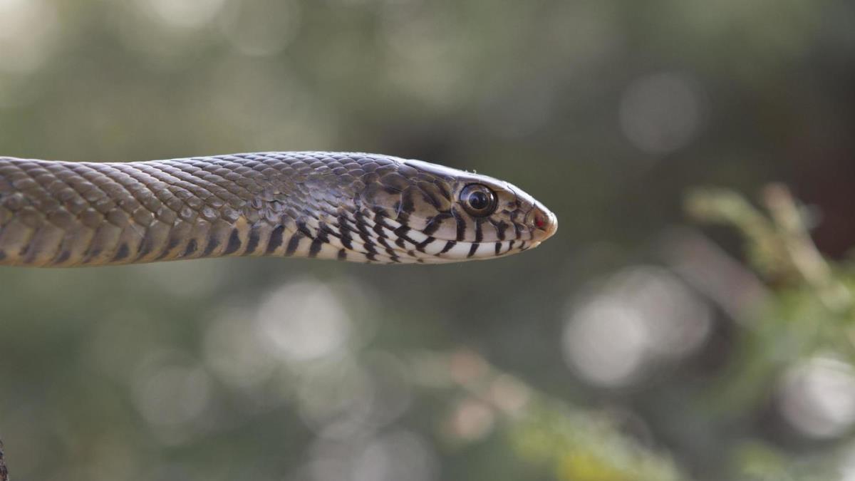 Científicos descubren una serpiente de piel brillante que vive bajo tierra (+Fotos)
