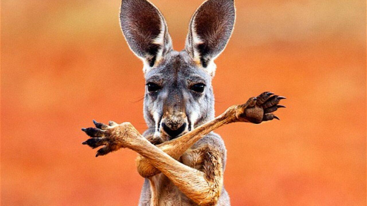 El canguro puede comunicarse como los perros, reveló un estudio