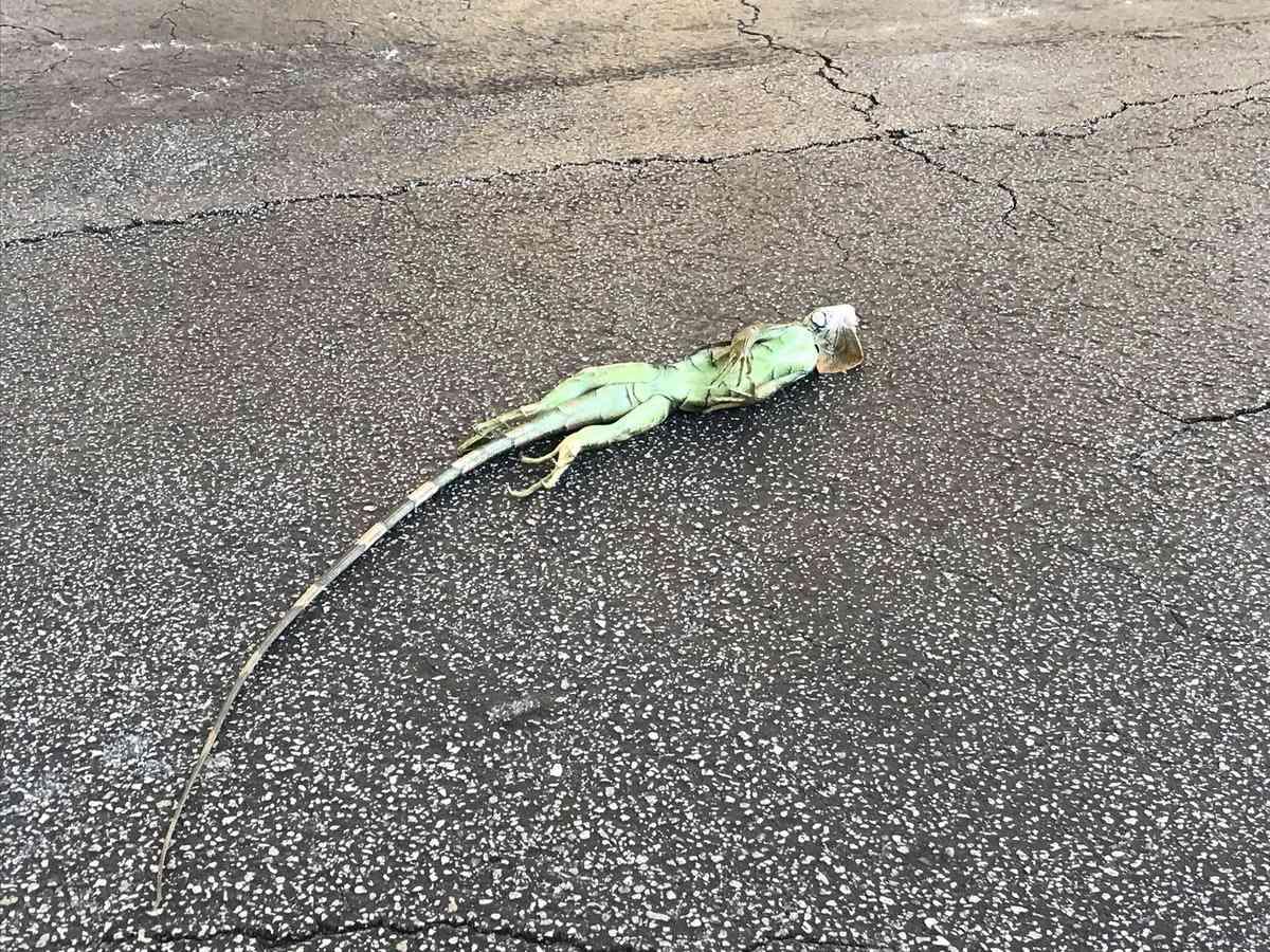 Vaticinan lluvia de iguanas congeladas por bajas temperaturas en Florida