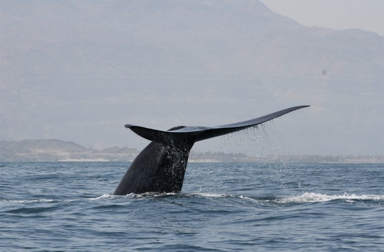 Hallan una población desconocida de ballenas azules por su singular canto