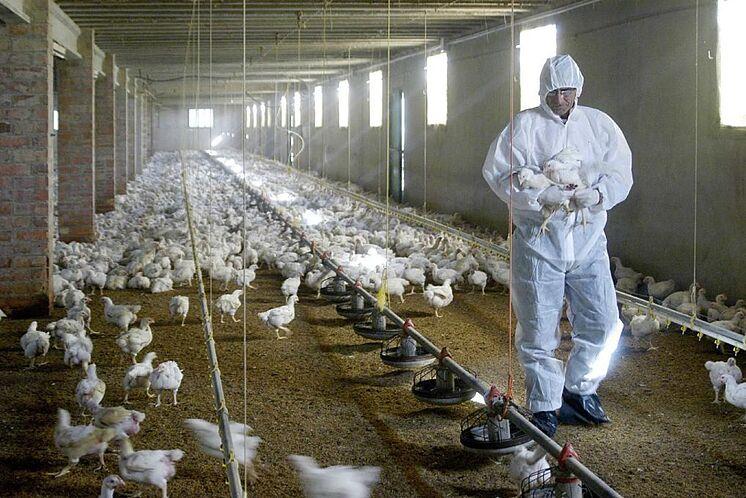 El Gobierno de Japón reconoce brote de gripe aviar