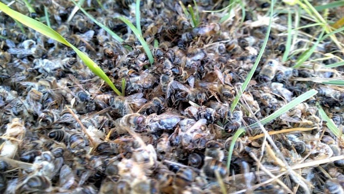 Ñuble: Denuncian muerte de miles de abejas polinizadoras en Ninhue