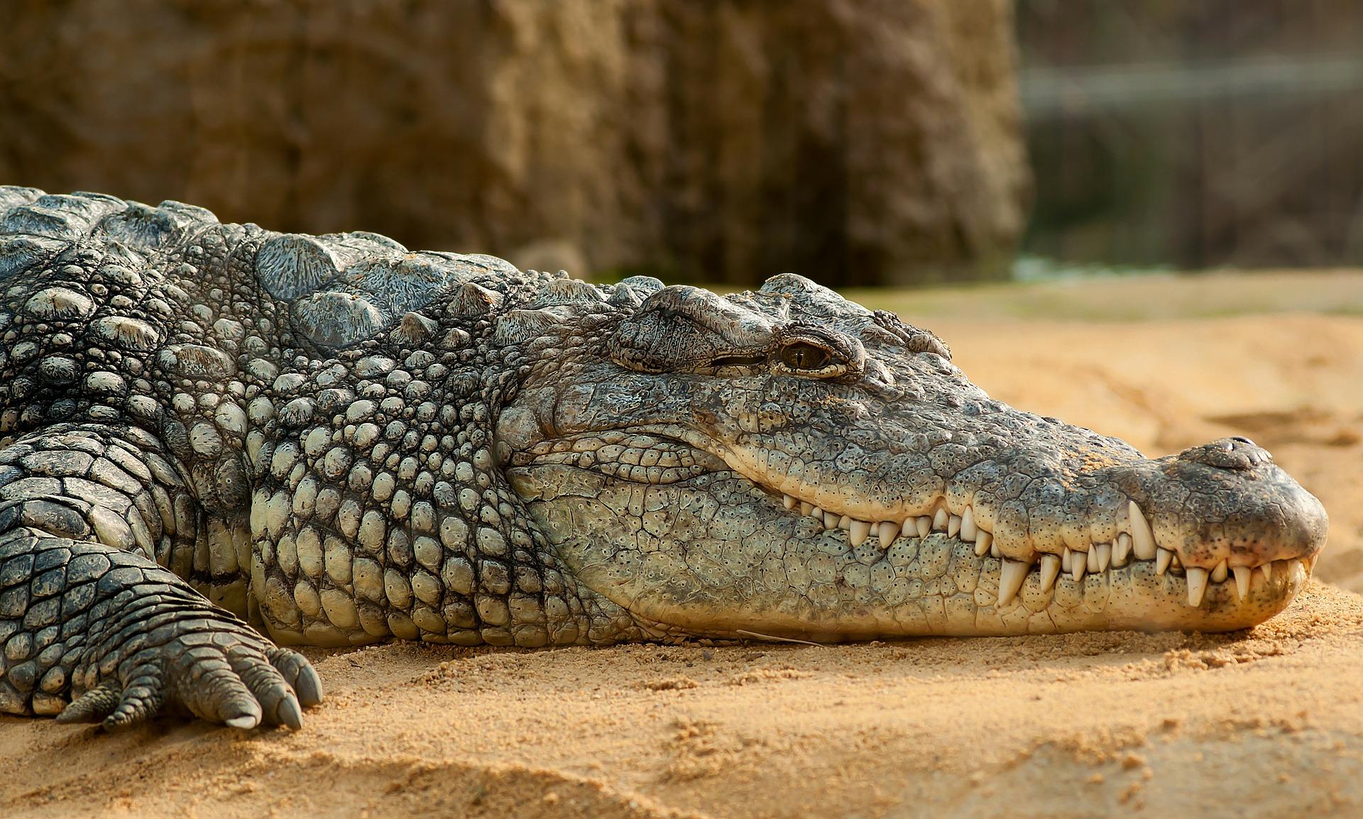 ¡Nuevo Rey del Pantano! Encuentran cocodrilo prehistórico que medía más de cinco metros