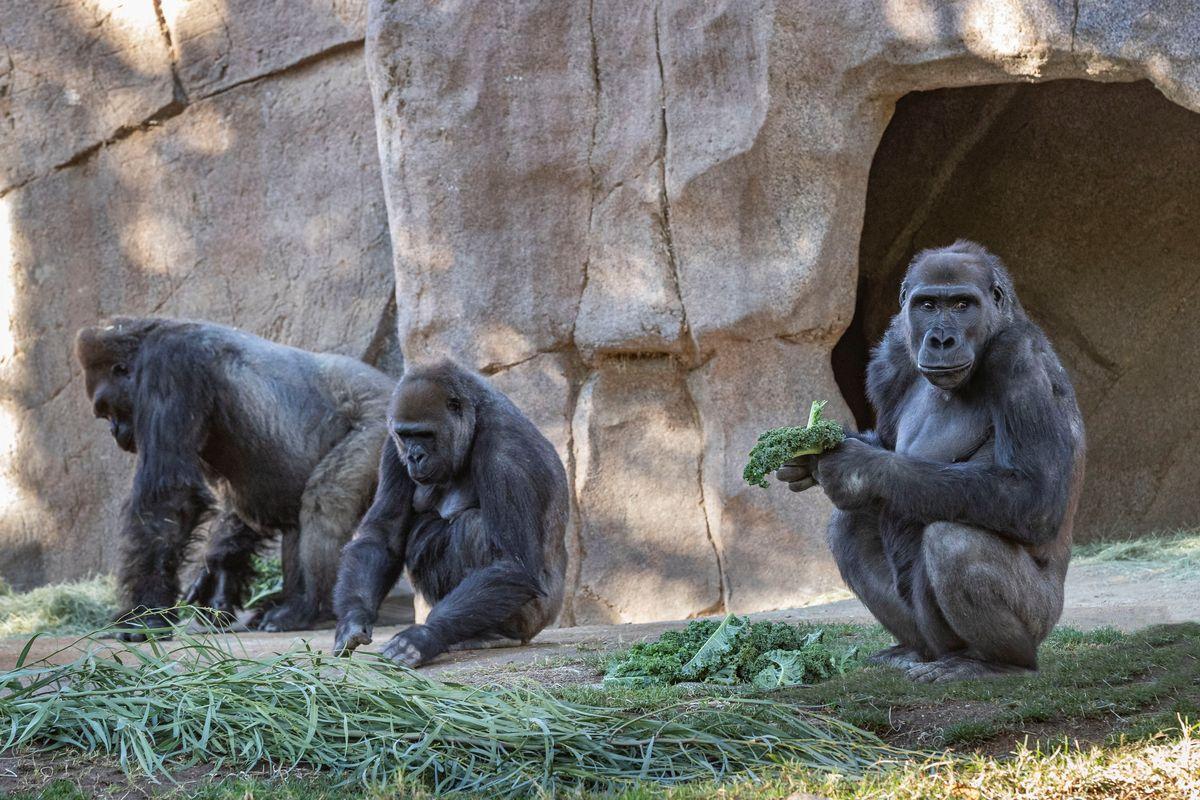 Gorilas en zoológico de San Diego padecen COVID-19: séptima especie animal infectada