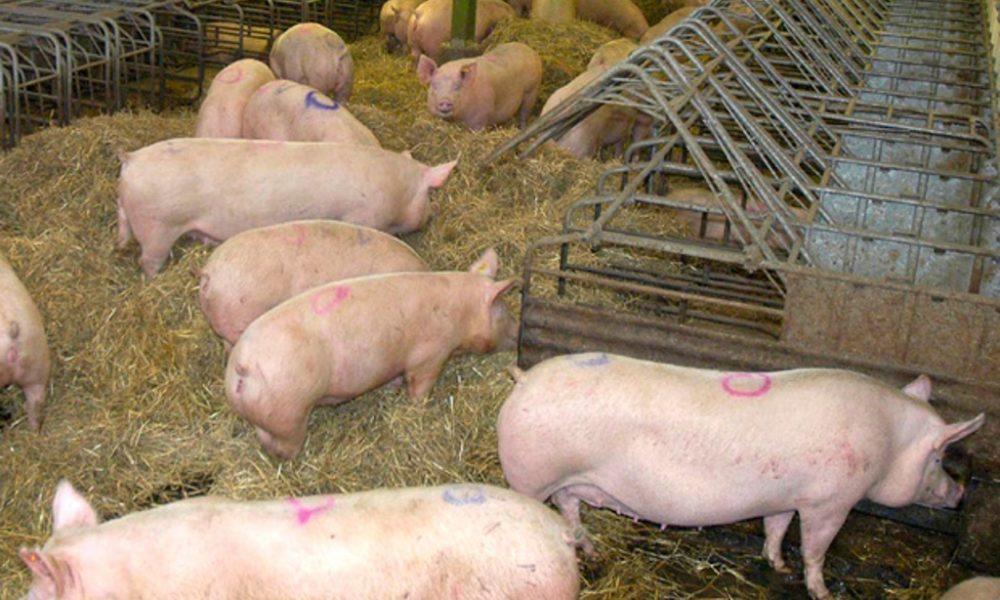 Vecinos de Coihueco y Chillán Viejo rechazan presencia de plantas faenadoras de cerdos