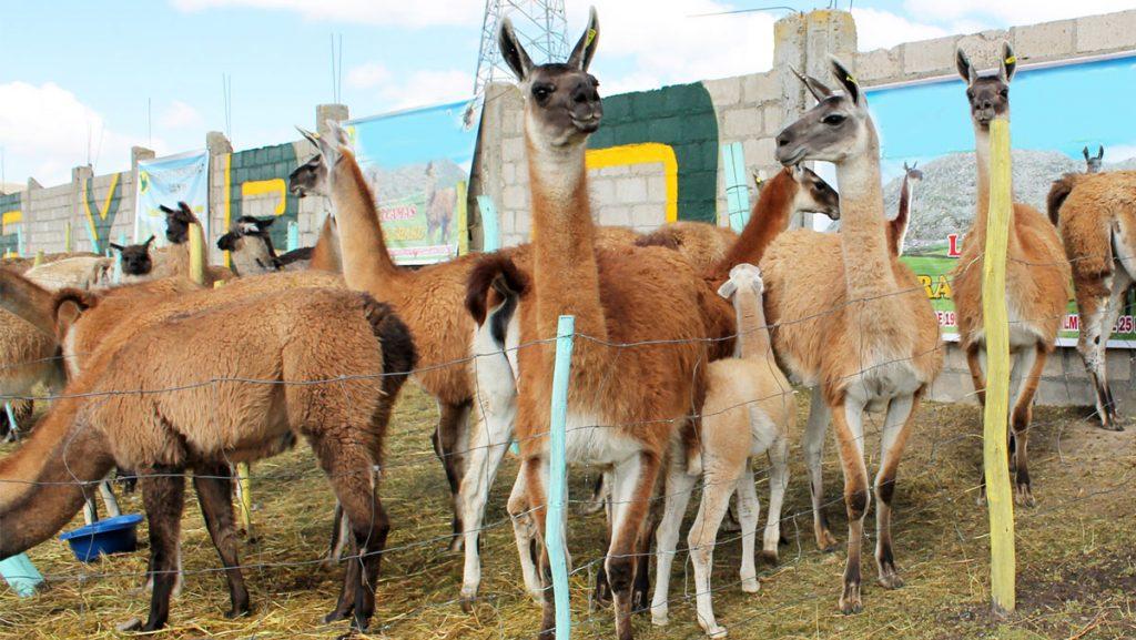 Crece popularidad de la carne de llama boliviana en el mercado internacional