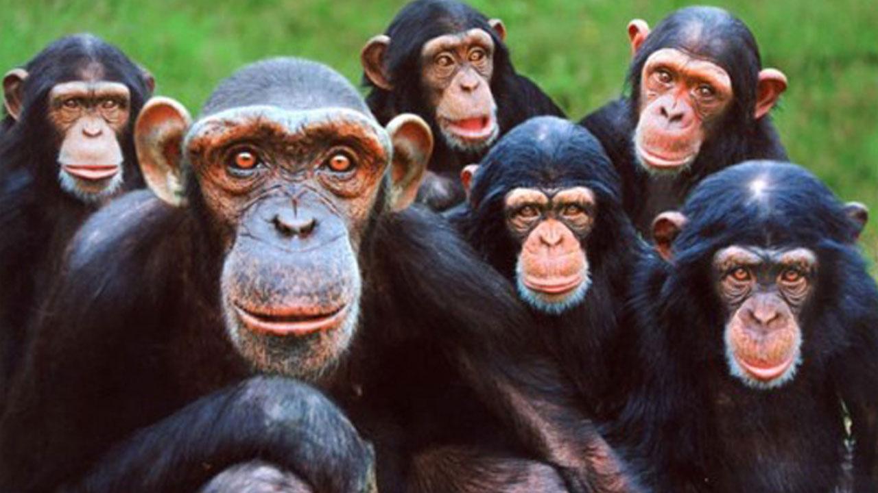 Un estudio reveló otra similitud en la actitud del hombre y los chimpancés