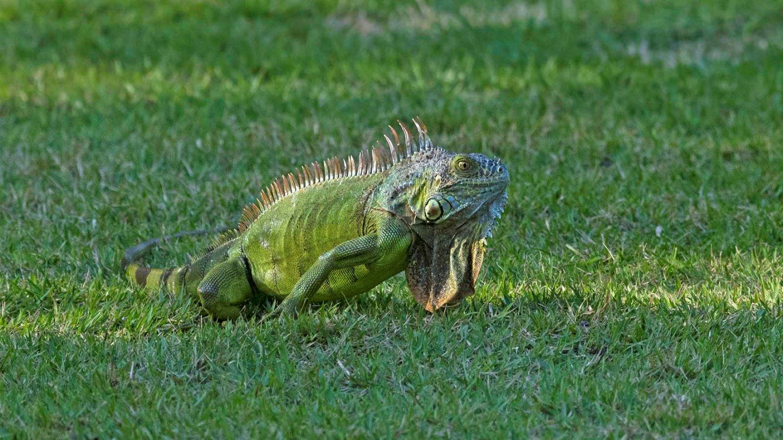 Florida enfrenta una invasión de iguanas y lagartos tegu