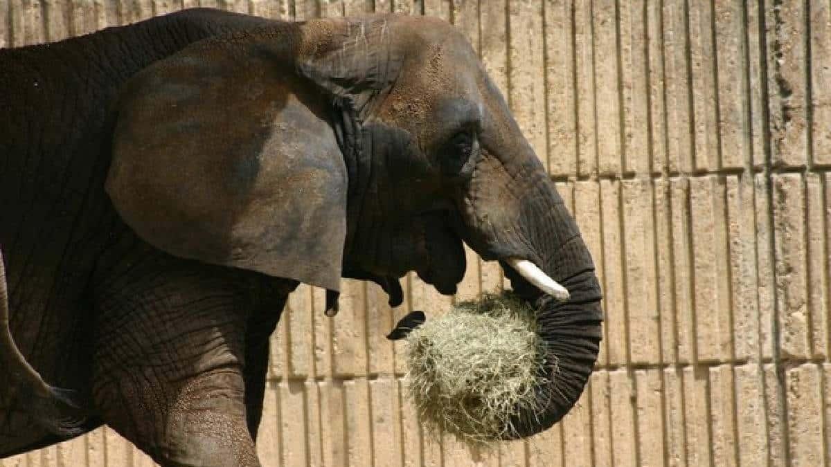 Elefanta de cuatro toneladas mata a cuidador de zoológico al golpearlo con su trompa