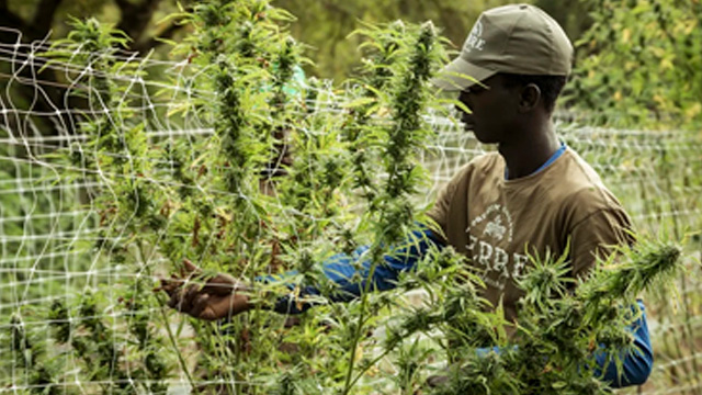Lluvias y sequías provocan que Jamaica se esté quedando sin marihuana