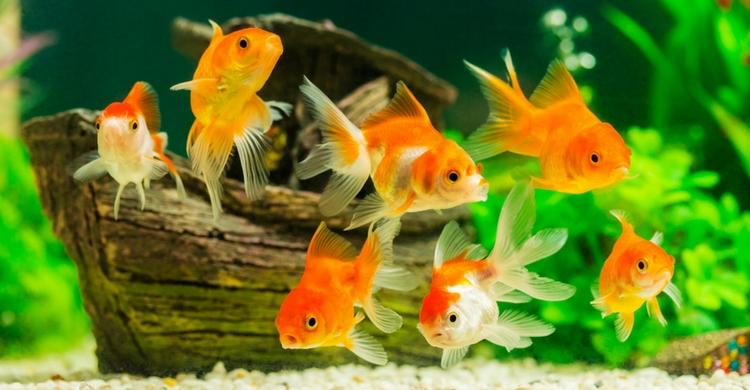 peces agua dulce