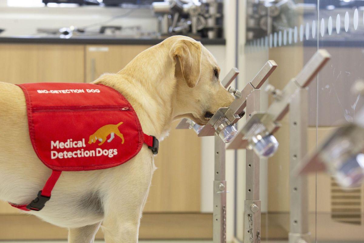 En Tailandia entrenan perros labradores para detectar Covid-19 en lugares de gran concentración