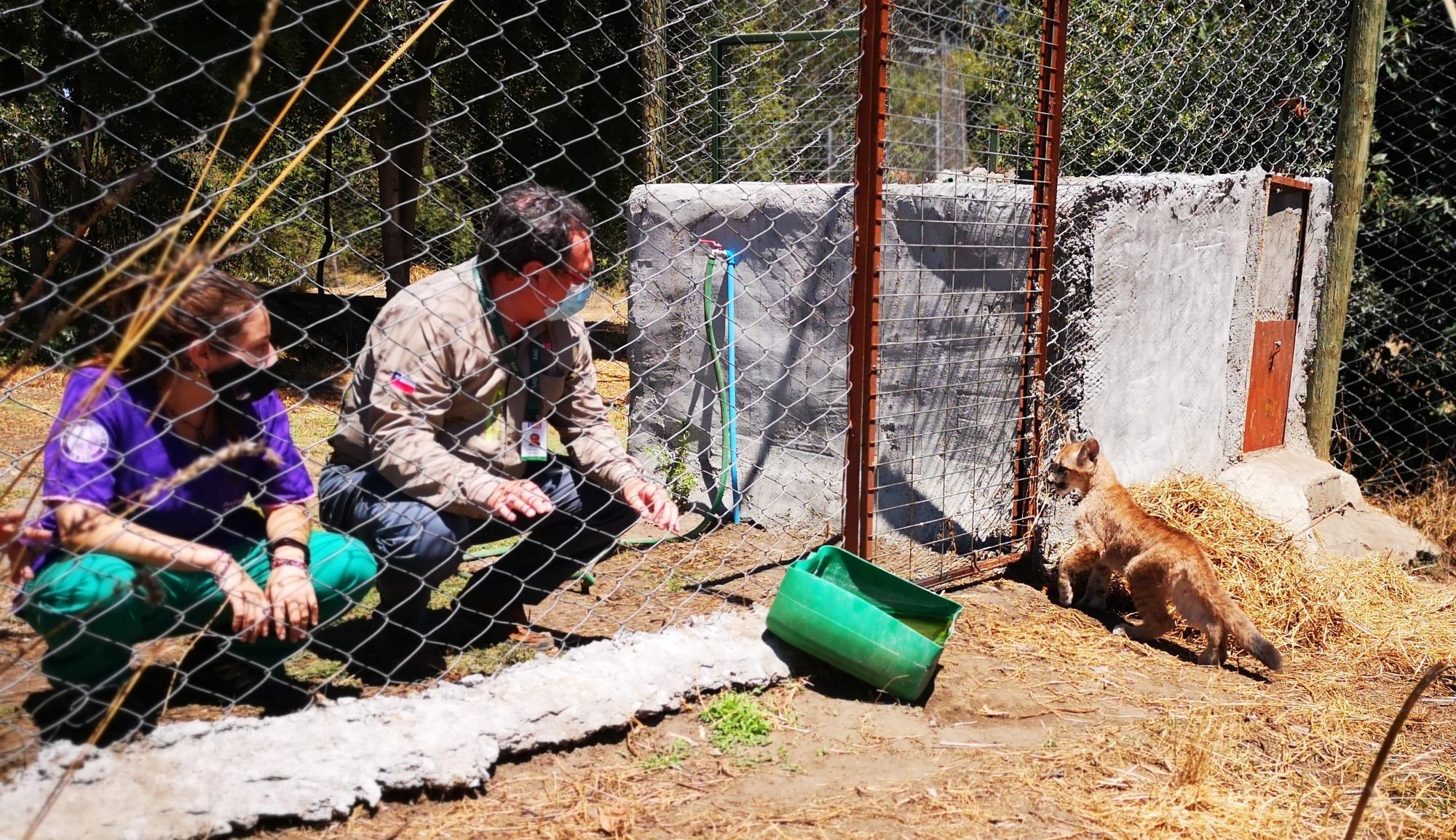 Ñuble: Entregan dos pumas en tenencia definitiva al Bioparque Quillón