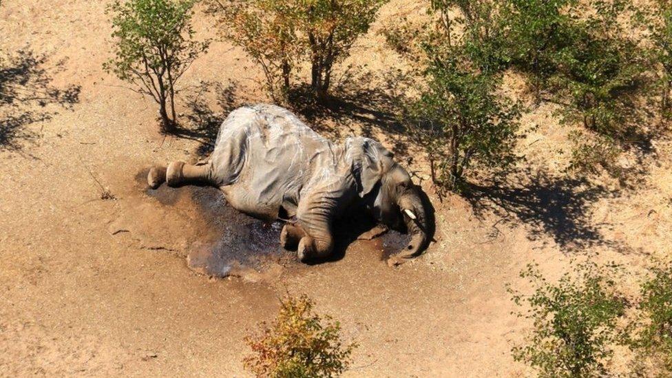 Reportan nueva ola de muertes de elefantes en África por causas desconocidas