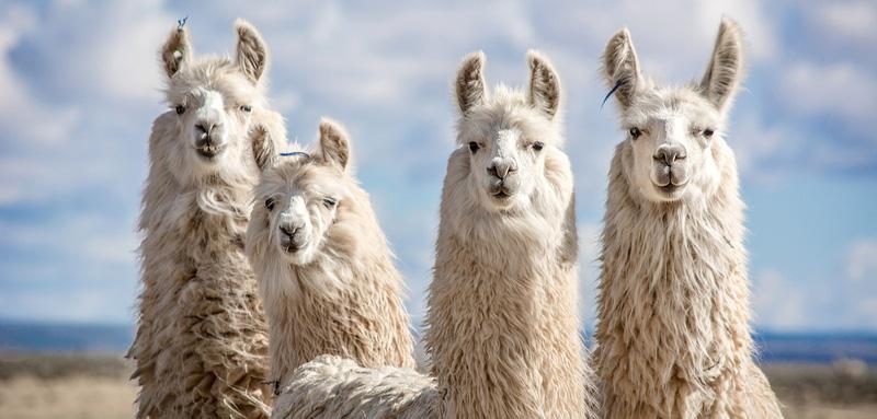 Científicos de U. Austral que descubrieron en alpacas «anticuerpo más fuerte del mundo», demuestran que puede neutralizar variantes sudafricana, británica y brasileña del SARS-CoV-2