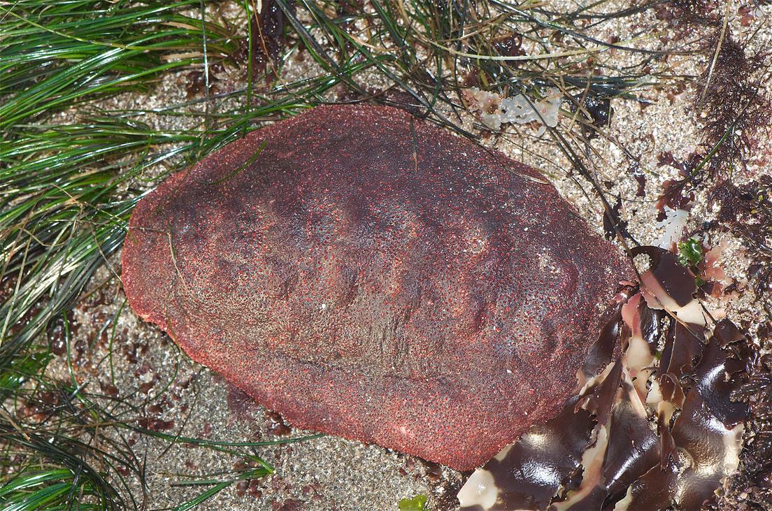 molusco rocas alimentarse
