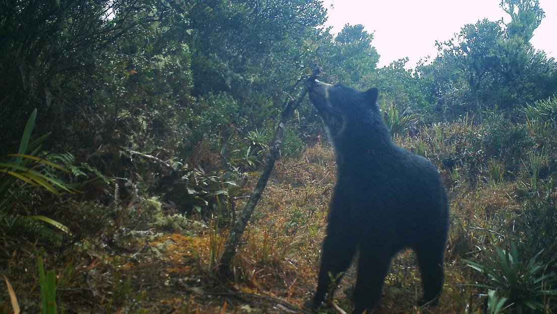 Encuentran en Venezuela dos cachorros silvestres del único oso autóctono de Sudamérica
