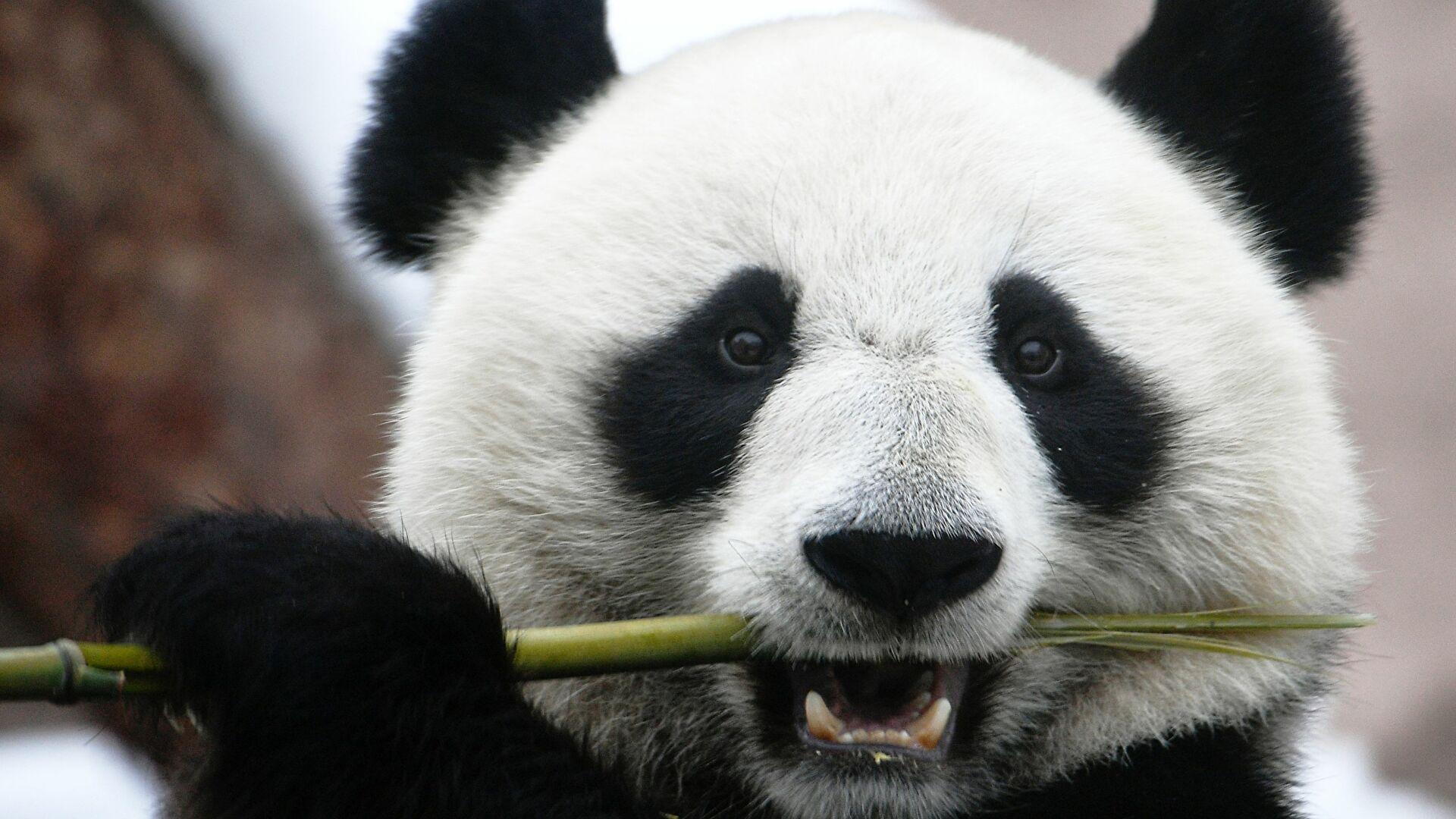 China afirma que los osos panda gigantes ya no están en peligro de extinción