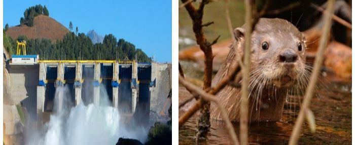 Impactos territoriales de centrales hidroeléctricas y las amenazas al Huillín y Pato Cortacorrientes, especies en peligro de extinción