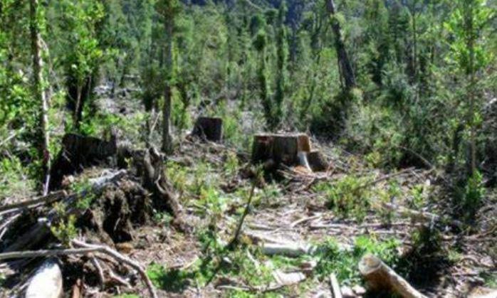 CONAF nuevamente en la mira de Contraloría tras denuncias por tala de bosque nativo con fines agrícolas