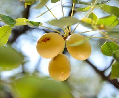 Fruta africana conocida como marula