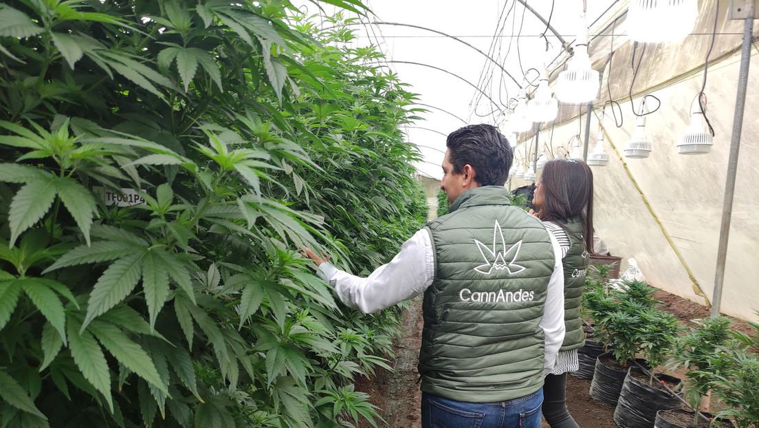 Cannabis legal: ¿Podría convertirse Ecuador en la capital mundial de la marihuana?