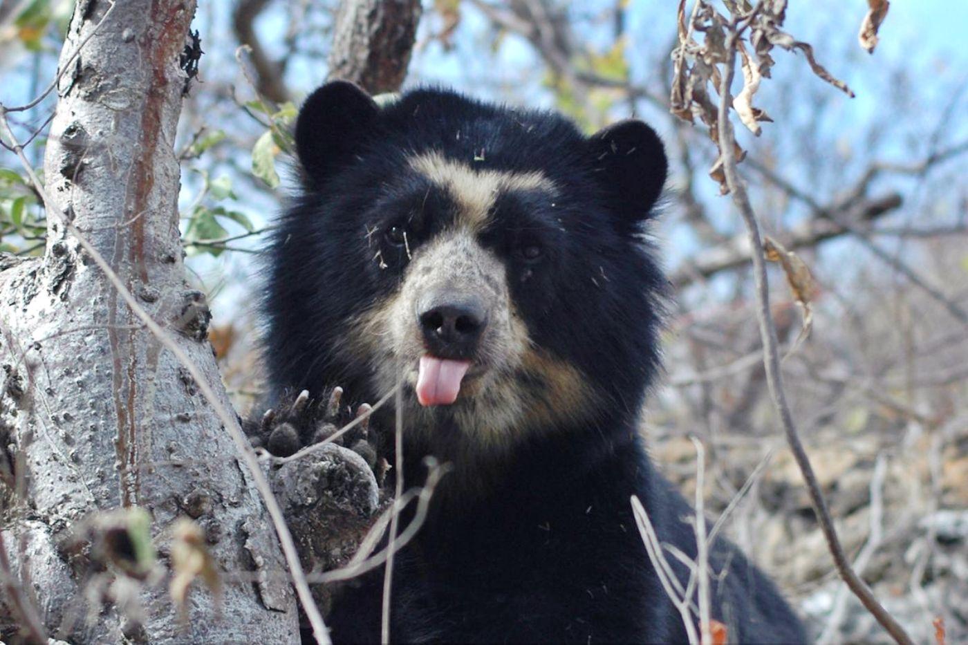 Venezuela avanza en la protección del único oso autóctono suramericano que está en riesgo de extinción