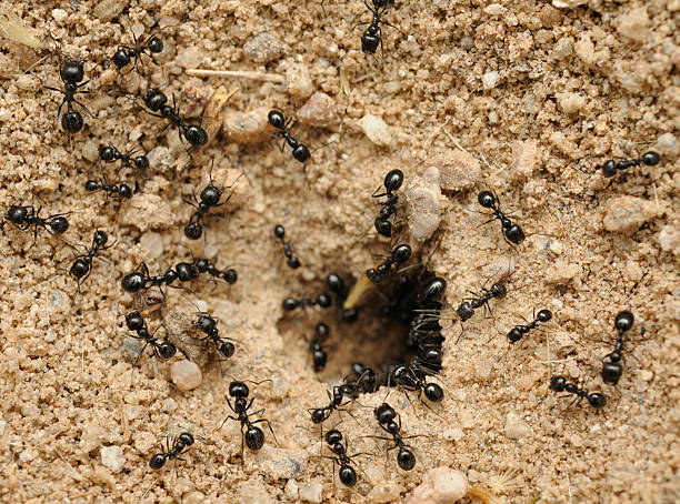Conducta de hormigas logra perfecto superorganismo
