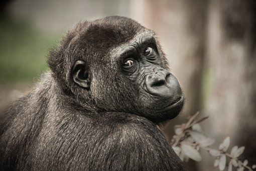 Dos tipos de primates tienen costumbres sociales similares a las de los humanos