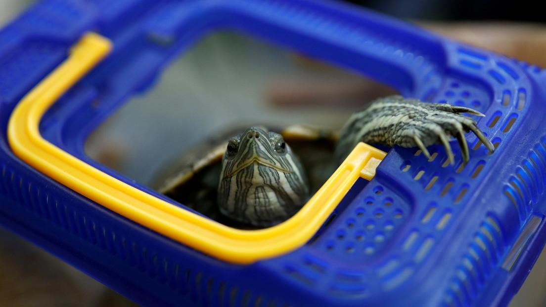 Una tortuga detiene tráfico aéreo en aeropuerto de Japón