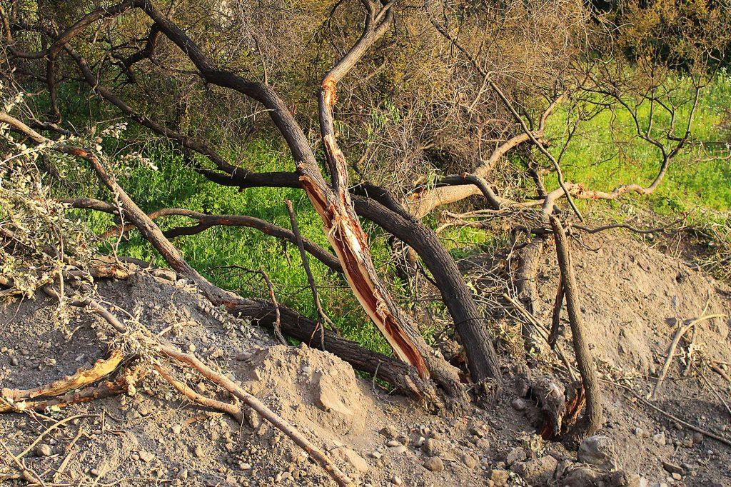 CONAF no se presenta a audiencias de comparendo por denuncias ciudadanas presentadas por destrucción del bosque nativo en Colina
