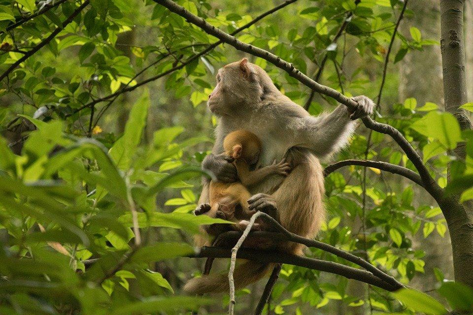 ¿Por qué las madres primates llevan consigo los cuerpos de sus crías muertas?