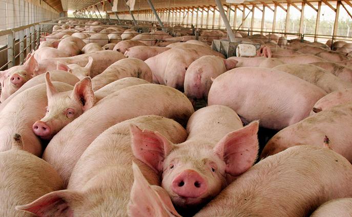 U. de Chile obtiene patente para vacuna contra la principal patología que afecta la producción de cerdos en el mundo