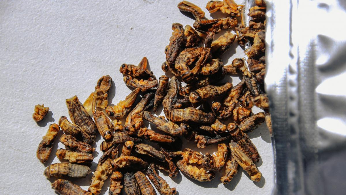 En Portugal incorporan los insectos a la dieta y los asumen como el alimento del futuro