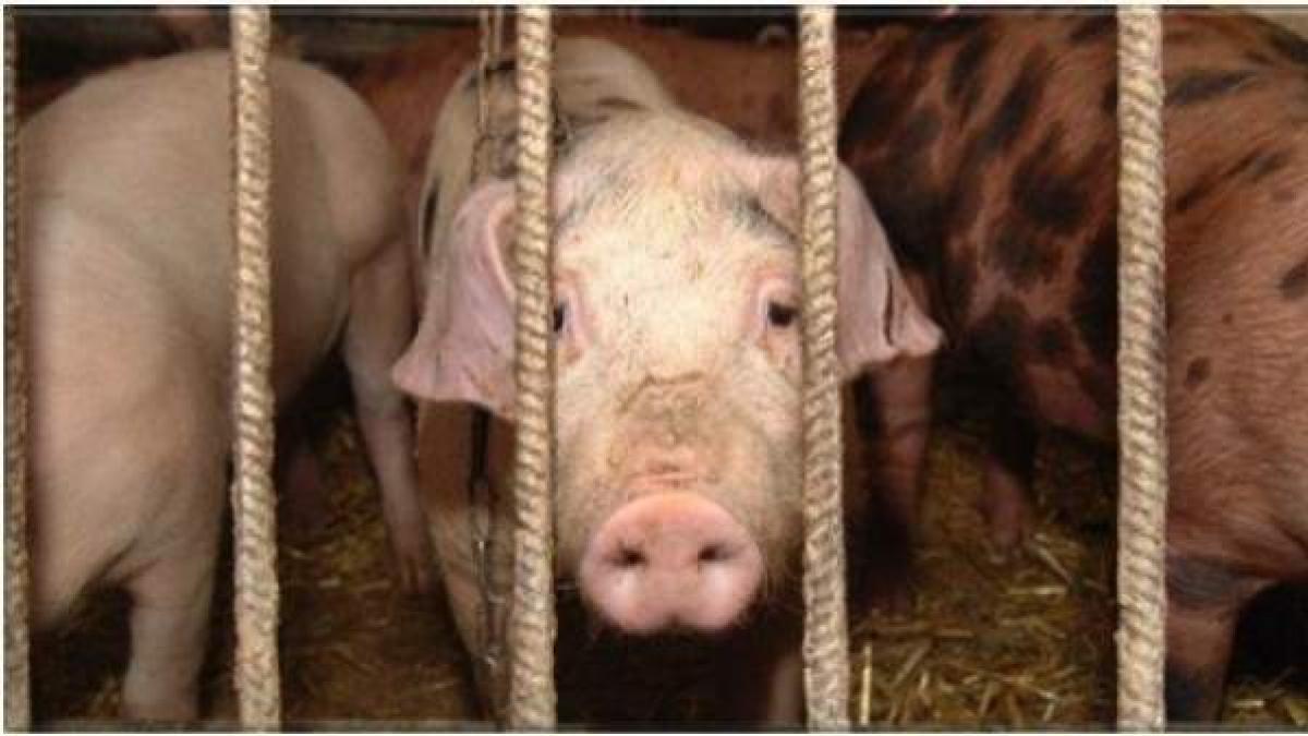 En crisis granjas porcinas de Reino Unido por falta de mano de obra especializada