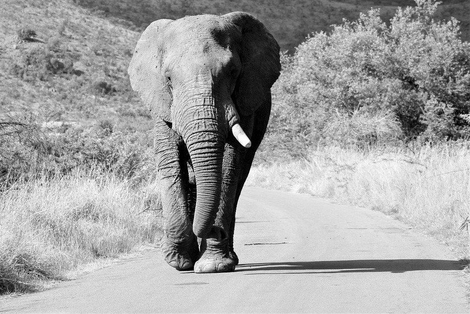 Elefantes habrían evolucionado para no desarrollar colmillos por la cacería ilegal