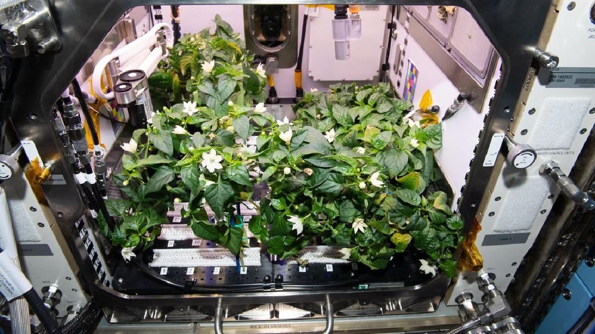 (Fotos) Astronautas de la NASA cosechan pimientos picantes cultivados en el Espacio